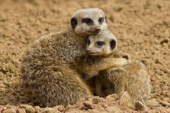Meerkats стоковое изображение