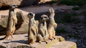 Meerkats stock video