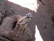 Meerkats Stock Afbeeldingen