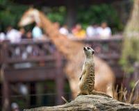 Meerkats Royaltyfri Foto