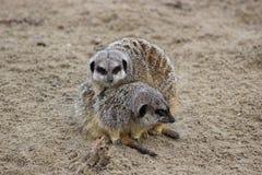 2 Meerkats 免版税库存照片