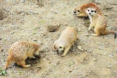 Meerkats Стоковое Изображение RF