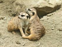Meerkats. Two meerkats look off camera stock image