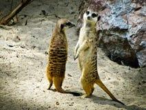 Meerkats Arkivbild