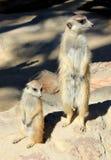 Meerkats Royalty-vrije Stock Foto