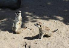 Meerkats Стоковые Фото