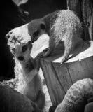 Meerkats Fotografia Stock Libera da Diritti