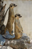 The meerkats Royalty Free Stock Photography