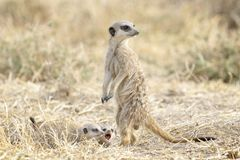 Meerkats adult and two juveniles on the lookout. Meerkats Suricata suricatta adult and two juveniles in front of nest, watching around, Mountain Zebra National stock images