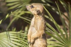 Meerkats al sol que alzaprima, suricatta del Suricata Fotografía de archivo