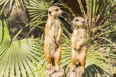Meerkats al sol que alzaprima, suricatta del Suricata Foto de archivo libre de regalías