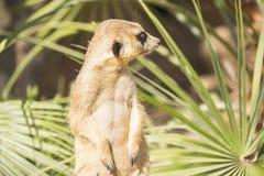 Meerkats al sol que alzaprima, suricatta del Suricata Fotos de archivo libres de regalías