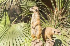 Meerkats al sol que alzaprima, suricatta del Suricata Foto de archivo