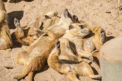 Meerkats al sol que alzaprima, suricatta del Suricata Imágenes de archivo libres de regalías