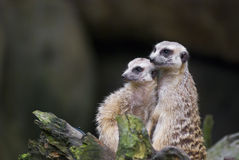 Meerkats on alert Stock Image