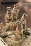 Meerkats on alert Royalty Free Stock Image