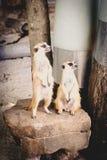 Meerkats allo zoo esotico eccezionale in Tailandia Immagini Stock