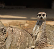 Meerkats. Animals of the Nature Park of Cabárceno royalty free stock images