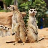 Meerkats anseende Fotografering för Bildbyråer