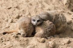 Meerkats in Antwerp zoo Stock Images