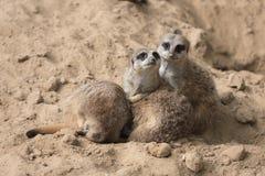 Meerkats in Antwerp zoo Stock Image