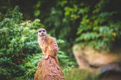 Meerkats attento fotografia stock libera da diritti