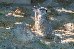 Meerkats auf der Sonne lizenzfreies stockfoto