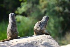Meerkats auf einem Felsen Lizenzfreies Stockfoto