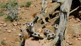 Meerkats auf Schutz stock video footage