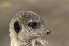 Headshot of a meerkat - nature picture. Meerkats belong to the species of mongooses. They live in arid regions in southern Africa, for example in Botswana Stock Images