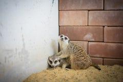 Meerkats bewust gevaar rond, royalty-vrije stock afbeeldingen