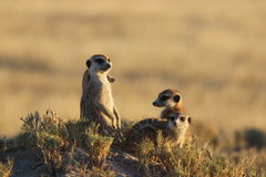 Meerkats in Botswana/South Africa Royalty Free Stock Photo