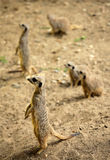 Meerkats catching sun Royalty Free Stock Image