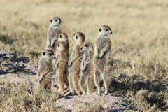 Meerkats che guarda intorno Immagini Stock