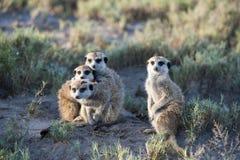 Meerkats che lo esamina Immagine Stock