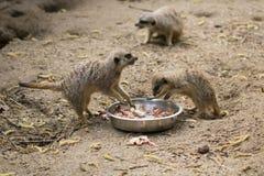 Meerkats che mangia i pulcini Fotografia Stock