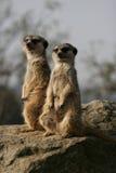 Meerkats che si siede sulla pietra Immagine Stock Libera da Diritti