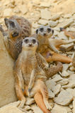 Meerkats chilling out Royalty Free Stock Image