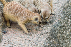 Meerkats are competing for food. Stock Photos