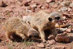 Meerkats con un ratón Imágenes de archivo libres de regalías