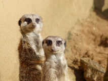 Meerkats couple looking in the camera Stock Photography