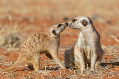 Meerkats couple playing on the sand Suricata suricatta Royalty Free Stock Photo