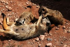 Meerkats cuddle togehter Royalty Free Stock Photo