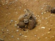 Meerkats cuddling in zoo in bavaria royalty free stock photos