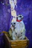 Meerkats d'amour Photographie stock libre de droits