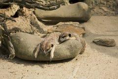 Meerkats, das auf Felsen sich entspannt Stockfoto