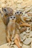 Meerkats, das heraus kühlt Lizenzfreies Stockbild