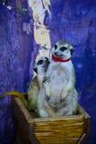 Meerkats del amor Imagen de archivo