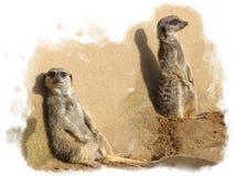 Meerkats delante de una pared lazing en el sol Imágenes de archivo libres de regalías
