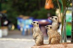 Meerkats der Beobachter Stockfoto